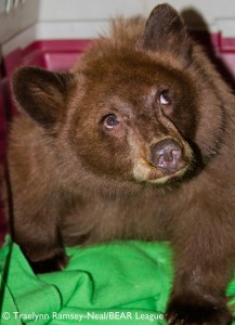 Photo Courtesy of Traelynn Ramsey-Neal  Tahoe Bear League