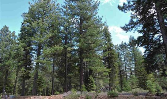 Pine Forest Vacant Land Sale in Truckee